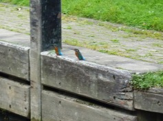Poor picture but just caught these two Kingfishers as I left Cookham lock.
